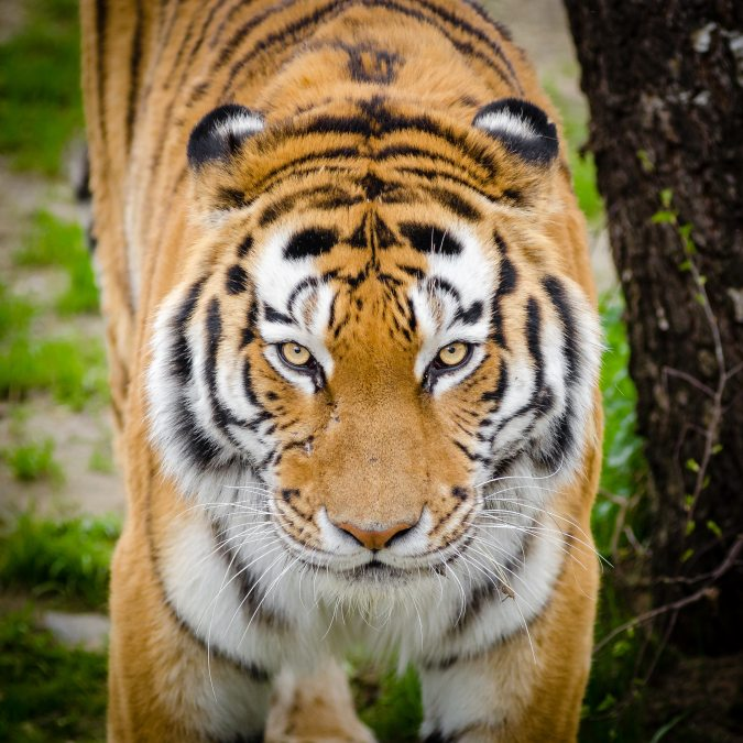 animal-bark-big-cat-145971