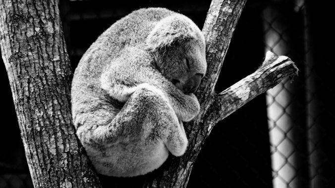 animal-bear-black-and-white-37087